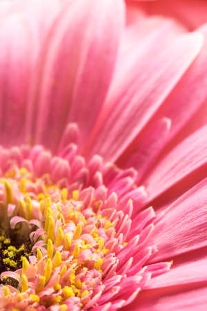 vertically: Pink Chrysanthemum flower closeup. Vertically. Stock Photo