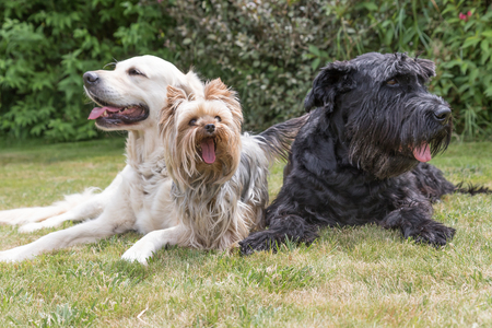black giant: Giant Black Schnauzer, Yorkshire Terrier and Golden Retriever dogs are lying on the lawn