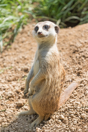 Meerkat is sitting on a sand and is looking at the camera.