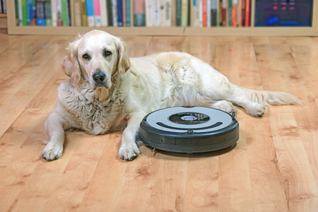 Golden Retriever dog is lying next to the robotic vacuum cleaner on the floor. All potential trademarks and control buttons are removed. Stock Photo