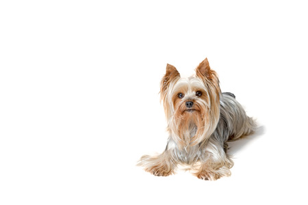 Cute Yorkshire Terrier is lying and looking at the camera. All is isolated on the white background. Stock Photo