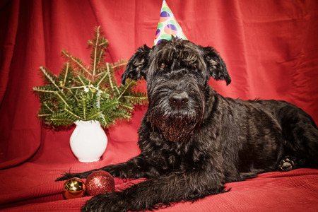 edited photo: Closeup view of the Giant Black Schnauzer dog with paper hat on his head is lying on the red cloth and is looking at the camera. Edited as a vintage photo with dark edges. Stock Photo