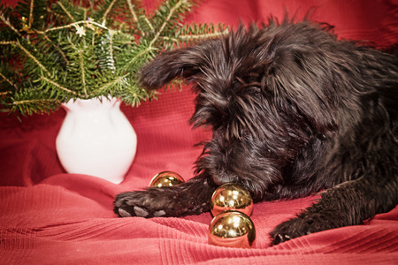 edited photo: Puppy of Giant Black Schnauzer dog is lying on the red cloth and is sniffing golden Christmas bulbs. Edited as a vintage photo with dark edges.
