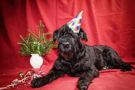 edited photo: Giant Black Schnauzer dog with paper hat on obliquely on his head is lying on the red cloth and is looking at the camera. Edited as a vintage photo with dark edges. Stock Photo