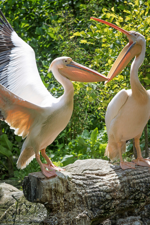 pelecanus: The pair of pelicans standing on the tree trunk. One of them has an open mouth. Stock Photo