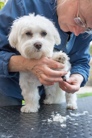 comb: Combing the paw of white dog. The dog is standing on the grooming table with a deliciously raised paw and looking at he camera.