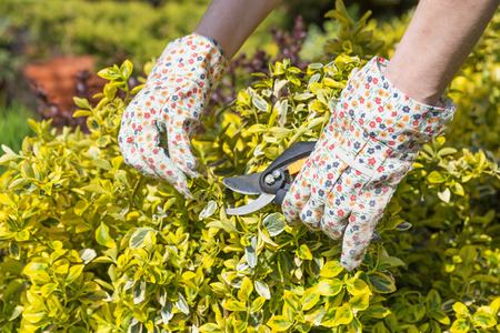The gardener`s hands are shearing a green shrubs Stock Photo