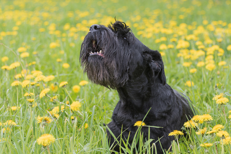 Barking Giant Black Schnauzer Dog is sitting at the blossoming dandelion meadow