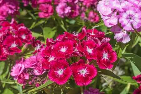 Red and pink Summer flowering Sweet William (Dianthus barbatus ) Stock Photo