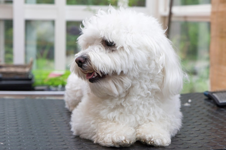 Cute white Bolognese dog is lying on a table and is waiting for grooming. The dog is looking at the side. Standard-Bild