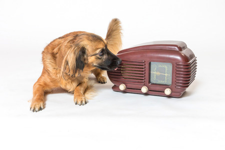 Studio shot of a brown crossbreed dog listening a vintage radio on the light background. All potential trademarks are removed.  Banque d'images