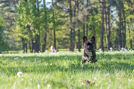 Porträt der französischen Bulldogge, die gegen die Kamera im Park läuft Standard-Bild