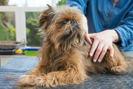 Trimming of the Brussels Griffon dog. The dog is lying on the grooming table.