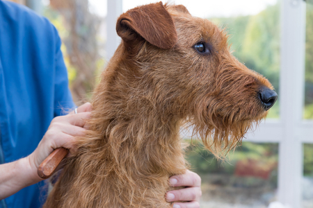 Closeup view of the trimming the neck of the Irish Terrier dog.