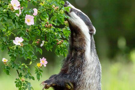Il tasso europeo è in piedi sulle zampe posteriori con la zampa alzata e annusa un fiore di rosa selvatica. Orizzontalmente.