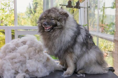 Smiling Wolf Spitz is sitting on a groomer table next to a pile of hairs after trimming.The dog is looking at the camera.