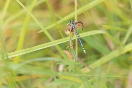 Top closeup view of Spearhead Bluet resting on plant in meadow. Horizontally.