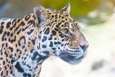 Portrait of the American jaguar looking ahead closeup outdoors. Horizontally.