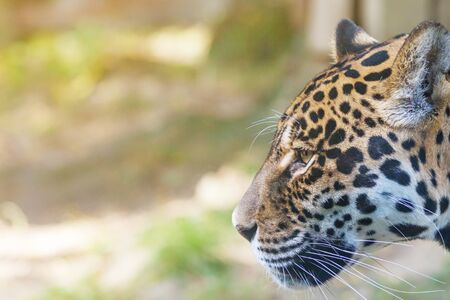 Side view of the head of American jaguar closeup outdoors. There is enough space for your text in the photo. Horizontally.