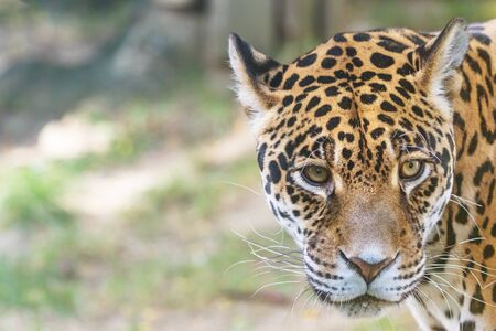 Portrait of the American jaguar looking at the camera closeup. There is enough space for your text in the photo. Horizontally.