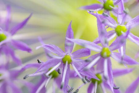 Nature background of Dutch Garlic (allium Hollandicum 'purple Sensation'). Horizontally.