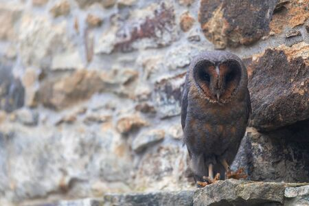 Cool barn owl in dark form is sitting on the stone wall closeup.  Stock Photo