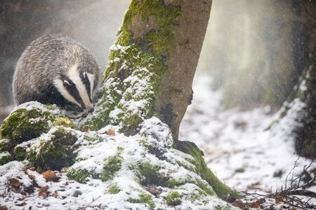 Front view of the European Badger is searching for food in the forest under snowfall.