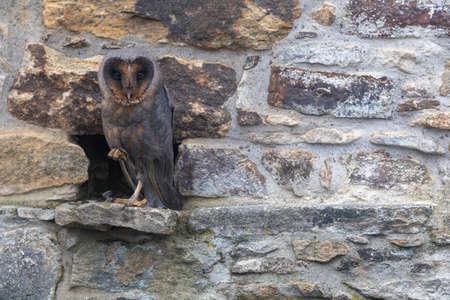 Cool barn owl in dark form is standing on one leg posing  at stone wall closeup. 版權商用圖片