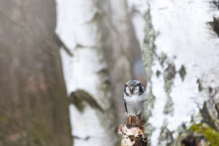 Portrait of young northern hawk owl (Surnia ulula) in birch forest.