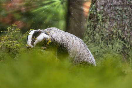 Side view of posing European Badger in the forest, animal in nature habitat closeup.