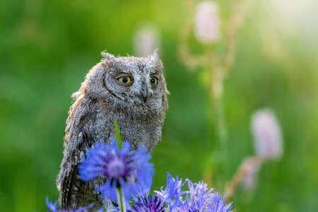 Portrait of otus scops standing behing Cornflower Blue Flower in the middle of a meadow