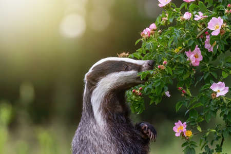 Standing european badger is standing on his hind legs and sniffing a wild rose flower