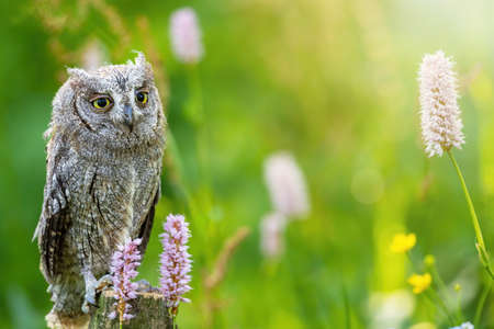 Portrait of otus scops standing on a branch in the middle of a meadow with meadow flowers. The otus scops is looking at the camera.