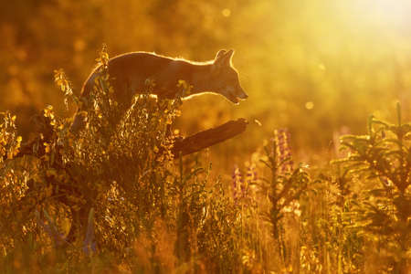 Red fox (Vulpes vulpes) posing in sunset strong backlight standing on a tree trunk