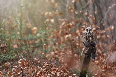 Long-eared Owl is posing on a tree stump looking at the camera. Autumn colored forest is in the background. Standard-Bild