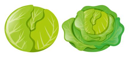 Cabbages on white background illustration Vetores