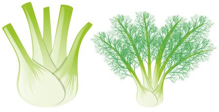 finocchio: Illustrazione di testa e foglie di finocchio Vettoriali