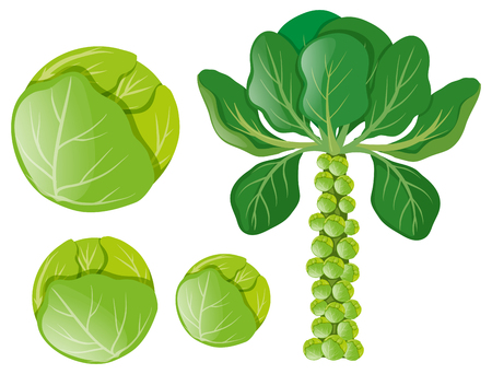 Green cabbages and brussel sprouts illustration