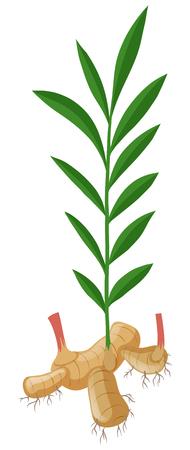 Gingembre aux racines et à l'illustration des feuilles