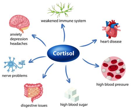 Le rôle du cortisol dans l'illustration du diagramme corporel Vecteurs