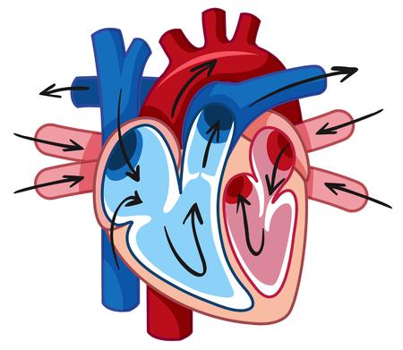 Human Heart and Blood Vessel illustration