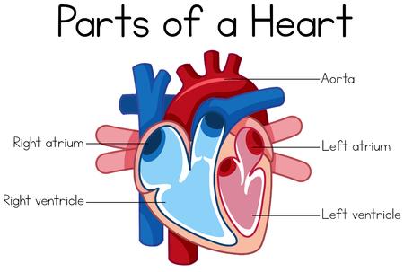 Teile der Herzdiagrammillustration Vektorgrafik