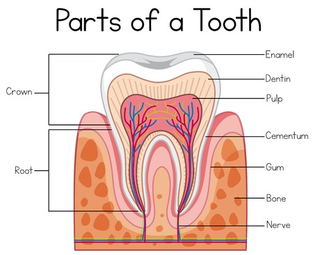 Parts of a Human Tooth illustration