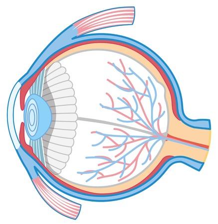 Anatomy of Human Eye illustration Illustration