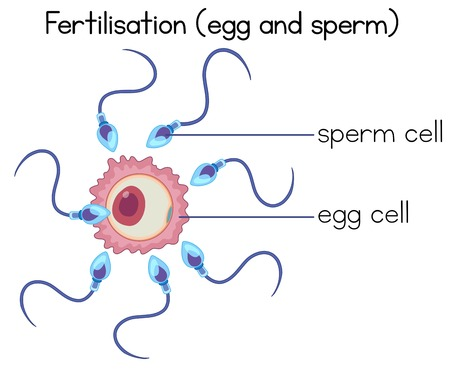 Fertilisation of egg and sperm diagram illustration Illustration