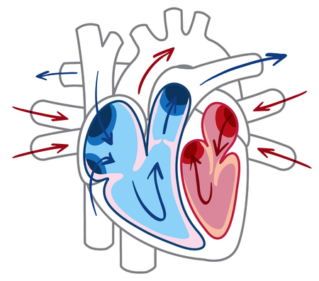 Blood flow of the heart diagram illustration Illustration