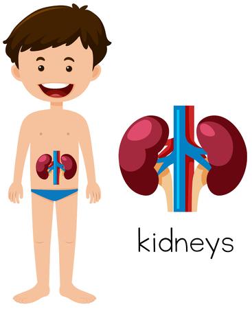 A Human Anatomy of Kidneys illustration