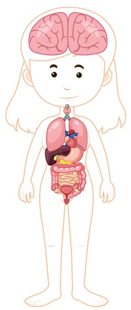 A Woman Body and Organs illustration