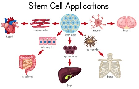 Stem Cell Applications diagram illustration