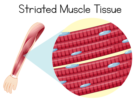 Illustration du tissu musculaire strié de l'arn humain Vecteurs